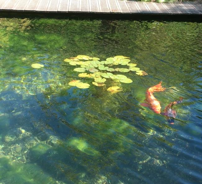 Zwemmen met hanenstemmen